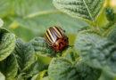 Натуральное средство от колорадского жука