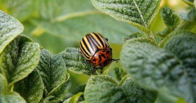 Дешевое средство от колорадского жука