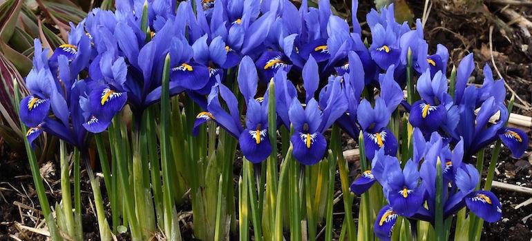 Морозостойкие многолетние цветы - Ирисы