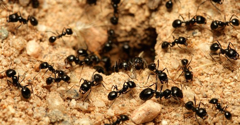 Муравьи против гусениц на капусте