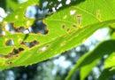 Обрабатываем вишню от вредителей: тли и гусениц