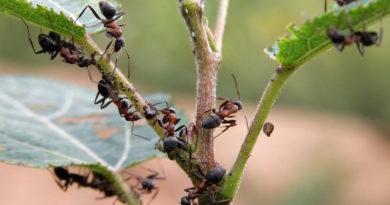 Избавляемся от муравьев при помощи детской присыпки