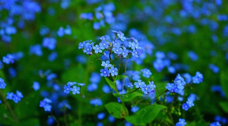 Цветок незабудка. Растения, которые лучше всего высаживать в августе