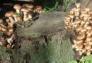 Избавляемся от пня на дачном участке при помощи грибов