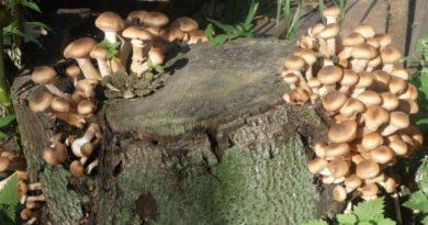Избавляемся от пня при помощи грибов