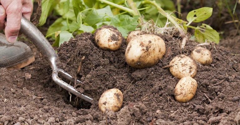 Когда нужно выкапывать картошку