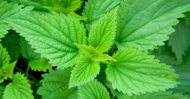 Настой из крапивы для поднятия иммунитета растений