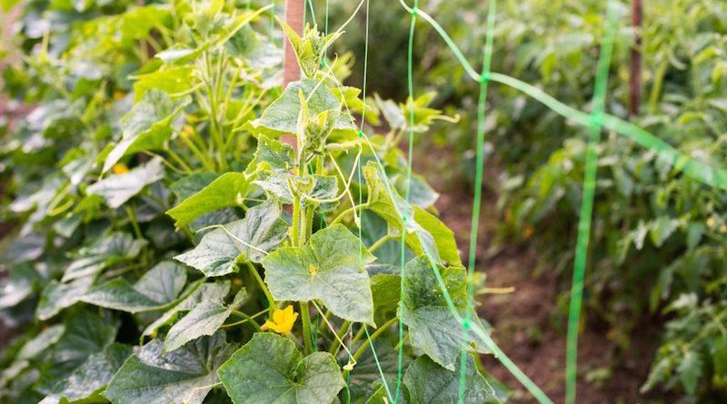 Применяем огуречную ботву с пользой для огорода