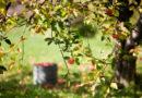 Подготавливаем плодовые деревья к морозам