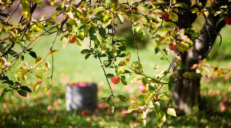 Подготовка плодовых деревьев к зимовке