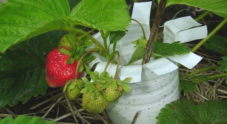 Подпорки для клубники и других ягод из пластиковых бутылок