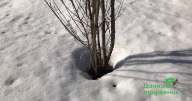 Снег вокруг деревьев и кустов тает быстрее