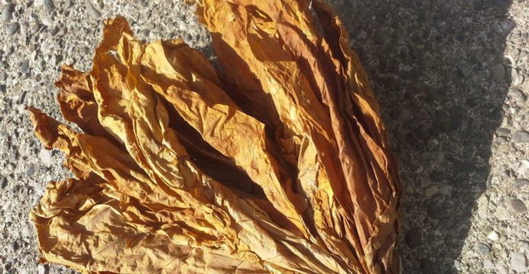 Готовим отвар против тли из листьев табака
