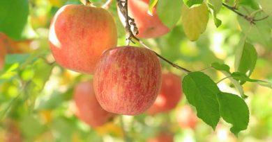 Подготавливаем яблоню к следующему сезону