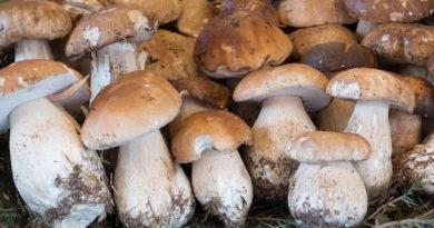 Выращиваем белые грибы у себя на участке
