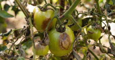 Гнилые плоды на ветках