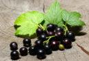 Основные ошибки при подготовке черной смородины к зимовке