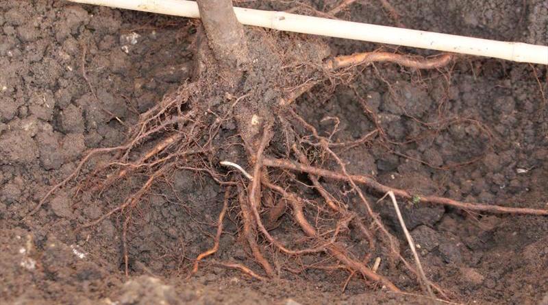 Как избавиться от корней в огороде не спиливая деревья
