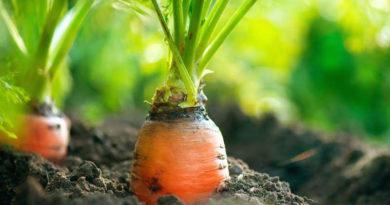 Основные ошибки посева моркови под зиму