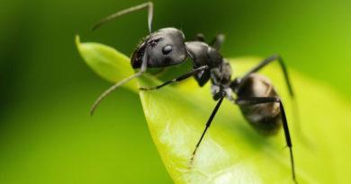 Избавляемся от муравьев в огороде