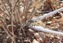 Осенняя обрезка крыжовника