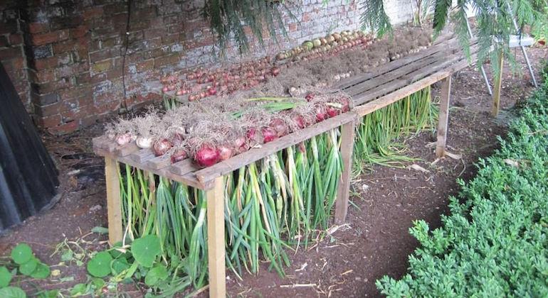 Подготавливаем лук к хранению