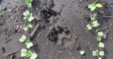 Как отвадить собак рыть огород и грядки