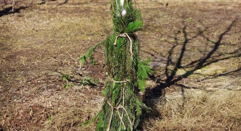 Защита ствола еловыми ветками