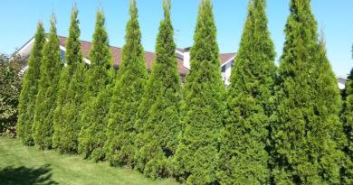 Что делать, если соседское дерево затеняет ваш участок