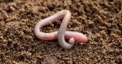 Дождевые черви в огороде