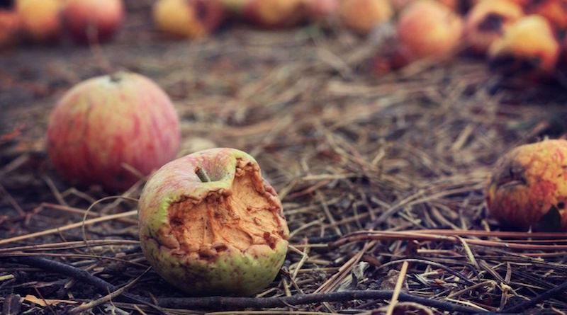 Гнилые яблоки в компостной яме
