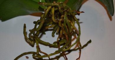 Гнилые корни орхидеи