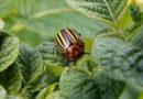 Прогоняем колорадского жука при помощи дёгтя: натурально и эффективно