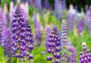Люпин не сорняк, а отличный сидерат: польза и особенности растения