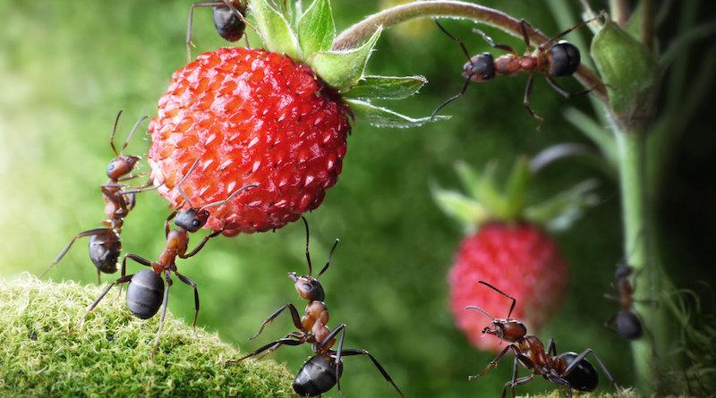 Приносят ли пользу муравьи для огорода
