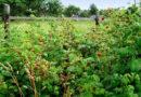 Избавляемся от поросли малины в огороде без гербицидов и химии