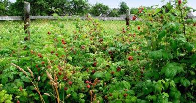 Боремся с порослью малины в огороде