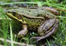Как привлечь лягушек (жаб) в огород: личный опыт