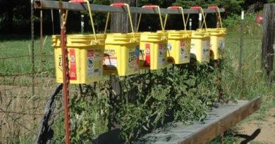 Выращиваем томаты вверх корнями