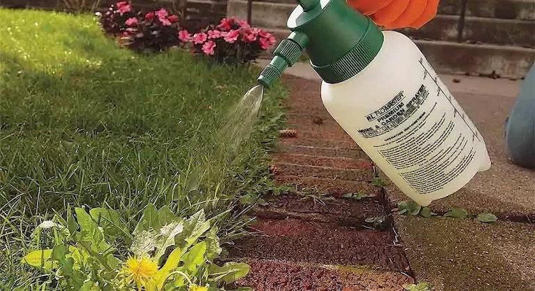 Борьба с одуванчиками при помощи гербицидов