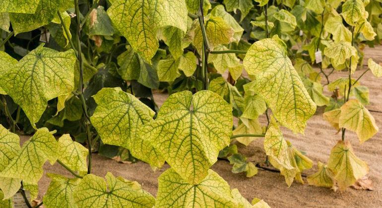Желтеющие листья огурцов. Корневая гниль.