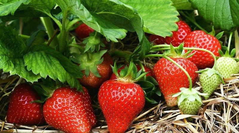 Крупные ягоды клубники
