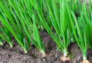 3 удобрения, которые сделают лук сочным и толстым
