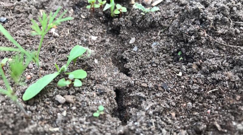 Как избавиться от муравьев в теплице