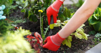 Как избавиться от одуванчиков в огороде