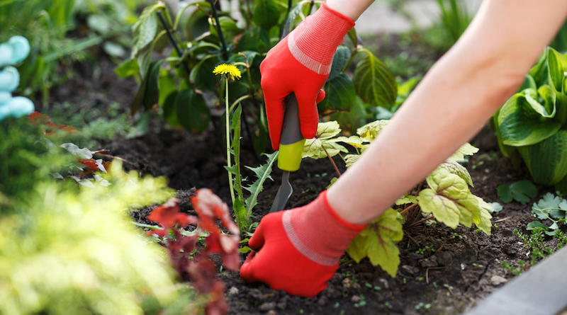 Избавляемся от одуванчиков в огороде