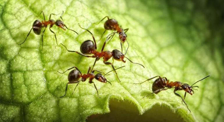 Коричневые садовые муравьи