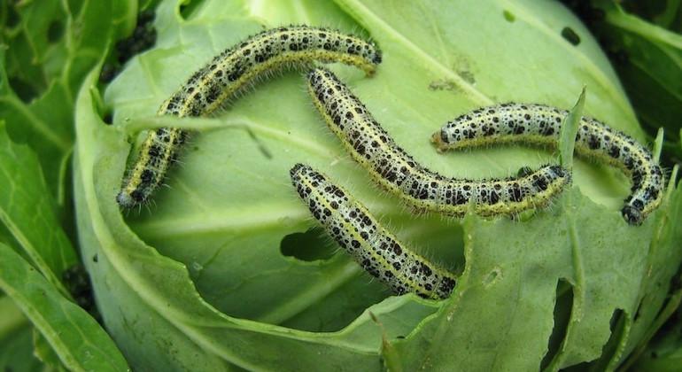 Гусеница ест капусту