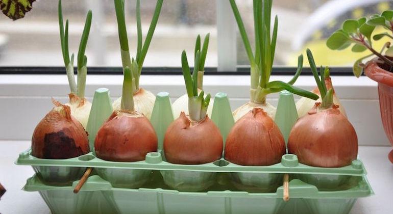 Выращивание перьев лука в яичных лотках