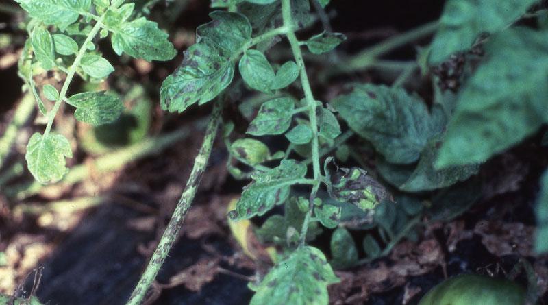 Фомоз томатов (фомозная гниль, бурая гниль)